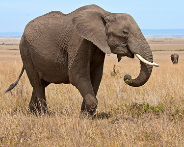 This photograph of a Bush Elephant was captured in Kenya, Africa (3/11).       This photograph is protected by the U.S. Copyright Laws and shall not to be downloaded or reproduced by any means without the formal written permission of Ken Conger Photography.