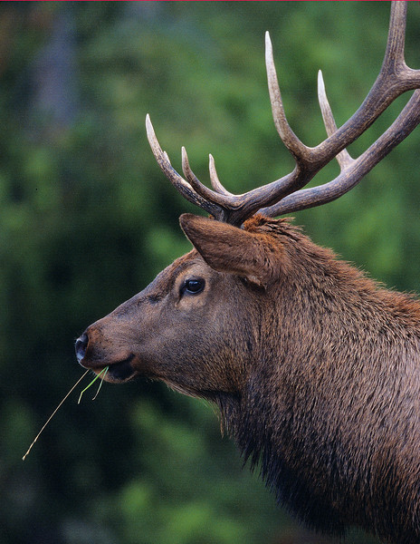 This bull Elk photograph was taken in Yellowstone National Park (10/04).