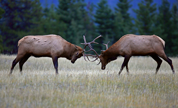 This photograph of clashing bull Elk was captured in Jasper Provincial Park.   This photograph is protected by the U.S. Copyright Laws and shall not to be downloaded or reproduced by any means without the formal written permission of Ken Conger Photography.