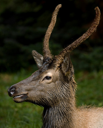 This photograph of an immature bull Elk was captured in Rocky Mountain National Park, Colorado (9/08). If you look closely, mid way up his right antler you can see a red seam where the velvet will eventually peel off.    This photograph is protected by the U.S. Copyright Laws and shall not to be downloaded or reproduced by any means without the formal written permission of Ken Conger Photography.