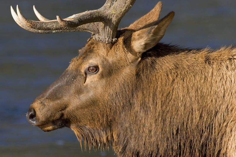 This bull Elk photograph was taken one afternoon in Yellowstone National Park.  He was crossing a creek and stopped after taking and drink and I captured this photograph (10/05).   This photograph is protected by the U.S. Copyright Laws and shall not to be downloaded or reproduced by any means without the formal written permission of Ken Conger Photography.