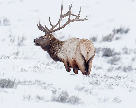 This photograph of an Elk was captured in Yellowstone National Park, Wyoming (1/14). This photograph is protected by the U.S. Copyright Laws and shall not to be downloaded or reproduced by any means without the formal written permission of Ken Conger Photography.