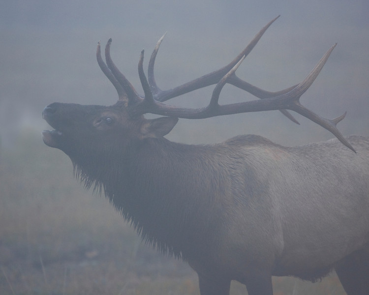 This photograph of calling bull Elk was captured in Rocky Mountain National Park, Colorado (9/08).     This photograph is protected by the U.S. Copyright Laws and shall not to be downloaded or reproduced by any means without the formal written permission of Ken Conger Photography.