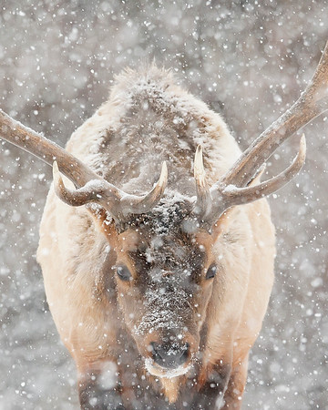 This photograph of an Elk during heavy snow was captured in Yellowstone National Park, Wyoming (1/15). This photograph is protected by the U.S. Copyright Laws and shall not to be downloaded or reproduced by any means without the formal written permission of Ken Conger Photography.