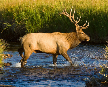 This late afternoon photograph of a bull Elk was captured in Rocky Mountain National Park, Colorado (9/08).      This photograph is protected by the U.S. Copyright Laws and shall not to be downloaded or reproduced by any means without the formal written permission of Ken Conger Photography.