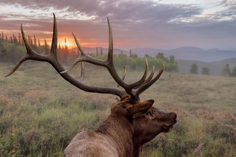 Majestic Bull