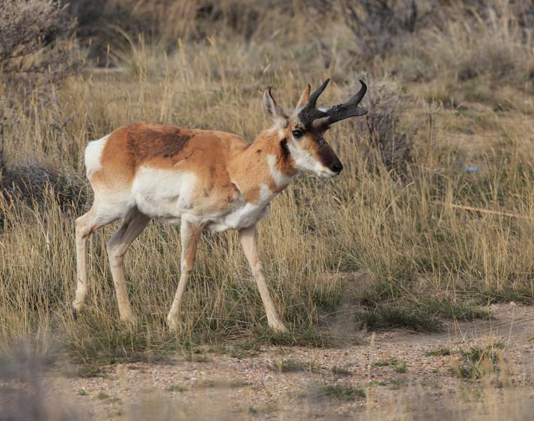 Antelope Walk