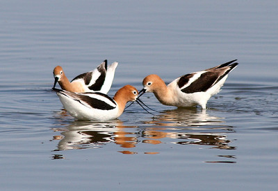 American Avocets Feeding