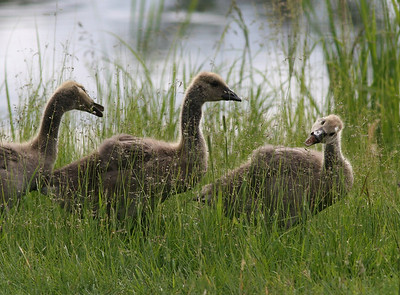 Hungry Goslings