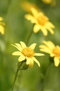 Yellow mountain wildflowers