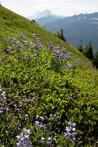 Lupine and border mountains
