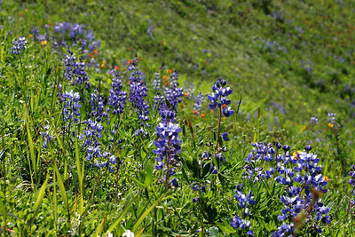 Mountain wildflowers on the way up Elk Mountain
