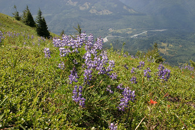 Lupine and view of Chilliwack river from Elk Mountain