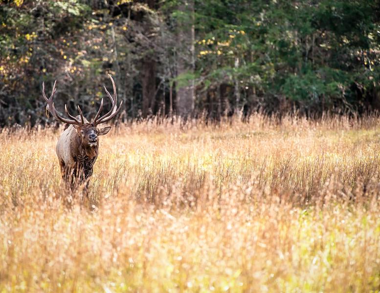 Elk in Cataloochee Valley NC
