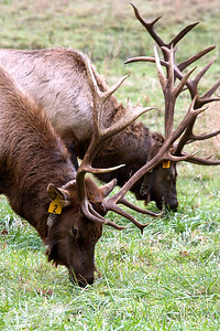 Elk in the Smokies