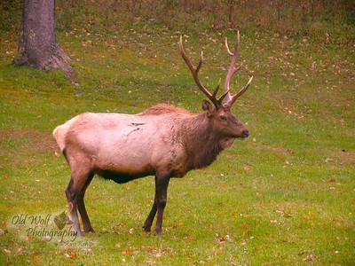 Bull Elk, Benezette, PA 6
