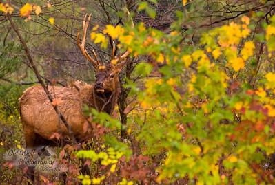 Bull Elk, Benezette, PA