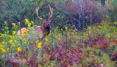 Bull Elk, Benezette, PA 3