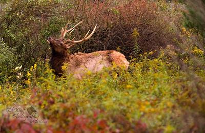 Bull Elk, Benezette, PA 5