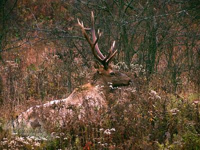 Bull Elk, Benezette, PA 7