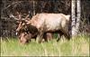 Elks, NC