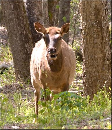 Female elk, NC