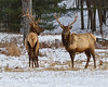 Elk in Benezette PA