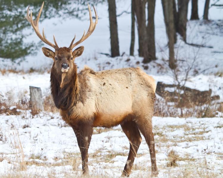 Elk in Benezette PA