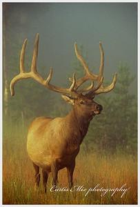Rocky Mountain bull Elk in velvet.