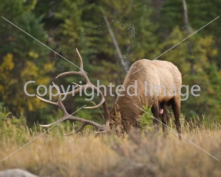 Jasper elk sept 08 1 161