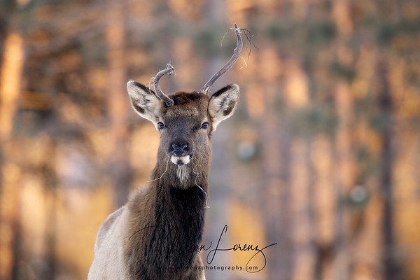 Young Male Elk in Bancroft, Ontario