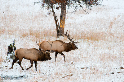 During the rut the bulls will do a paralell walk or dance, sizing each other up for size before engaging in a fight.