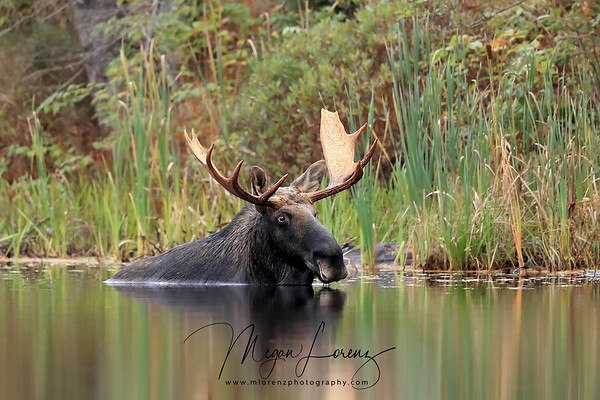 Bull Moose submerged in water in Algonquin Provincial Park