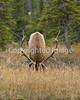 Jasper elk sept 08 1 097