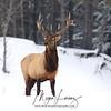 Wild Bull Elk in Bancroft, Ontario