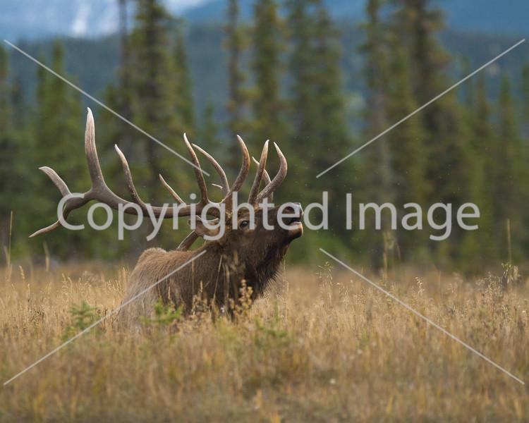 Jasper elk sept 08 1 154