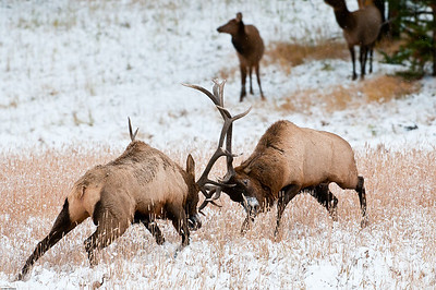 The sounds of elk antlers crashing together is one of those wilderness sounds you will never forget.