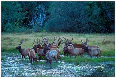 Fifteen bulls.