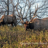 The elk, or wapiti (Cervus canadensis ) bull 10-20-2010