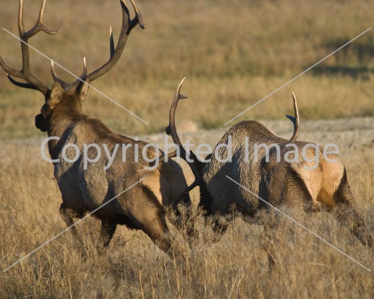 Jasper elk fight 2 003