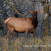 The elk, or wapiti (Cervus canadensis ) cow 10-20-2010