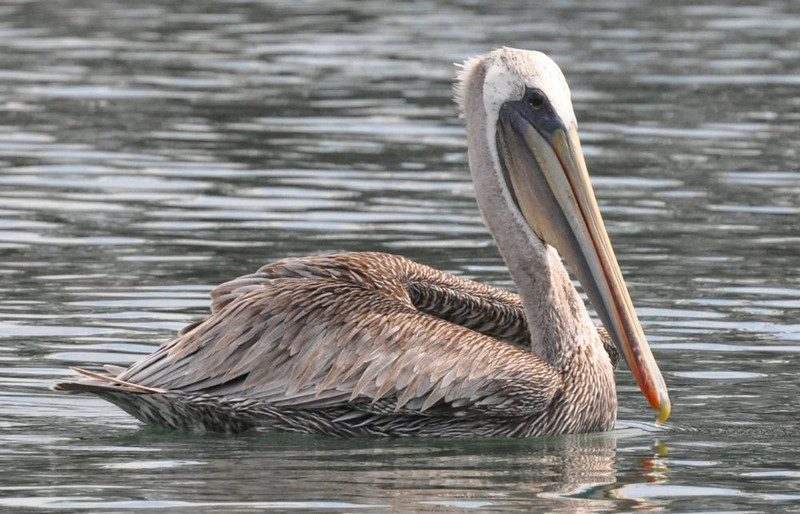 pelican_swimming_1000_DSC_0140