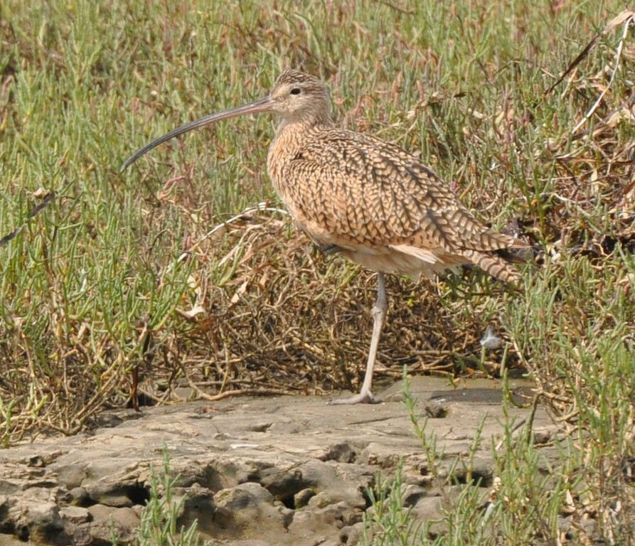 curlew_1080_929_DSC_0124