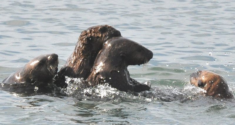 otters_four_playing_DSC_0257
