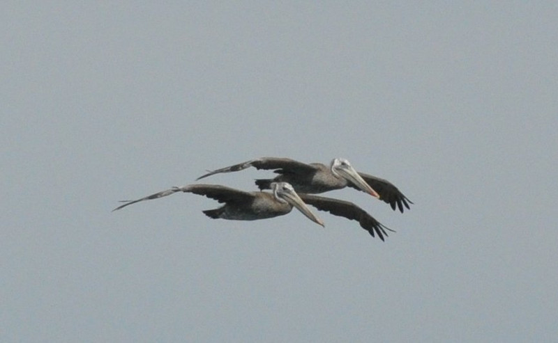 pelicans_two_flying_DSC_0022