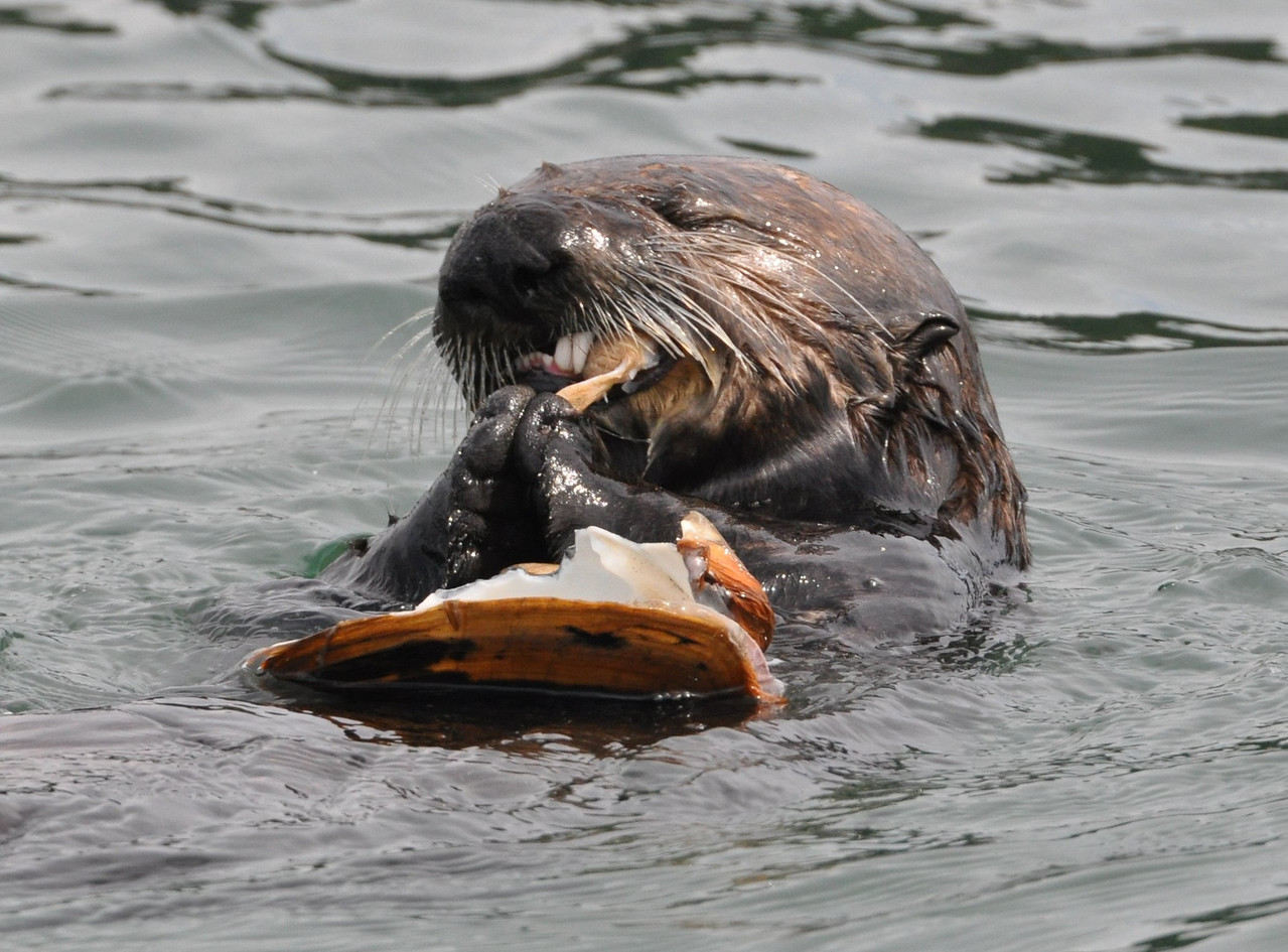 otter_eating clam_DSC_0084
