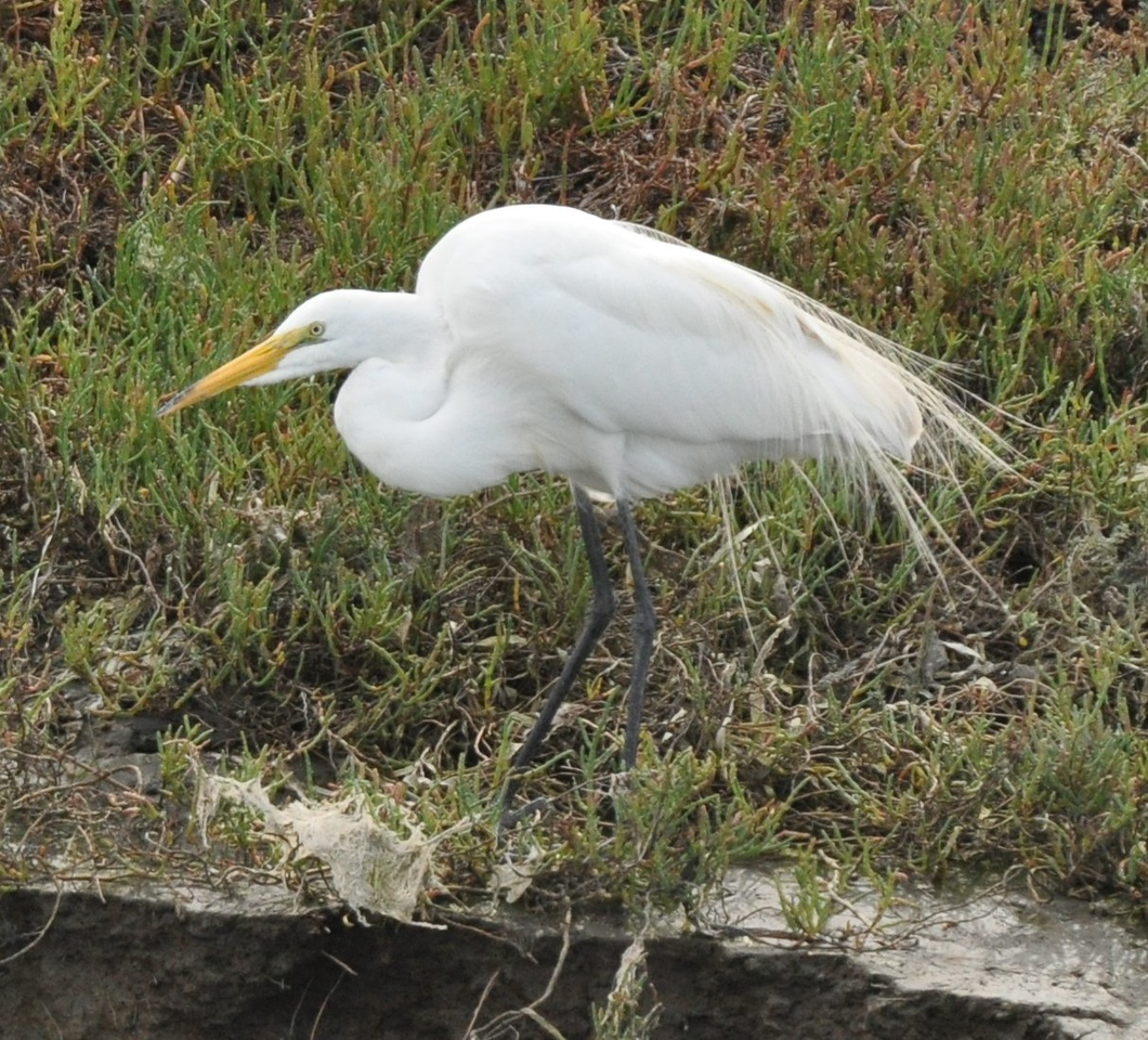 This great egret is in breeding plumage but its mind seems to be on food rather than sex.