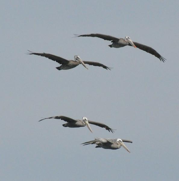 pelicans_four_flying_DSC_0021