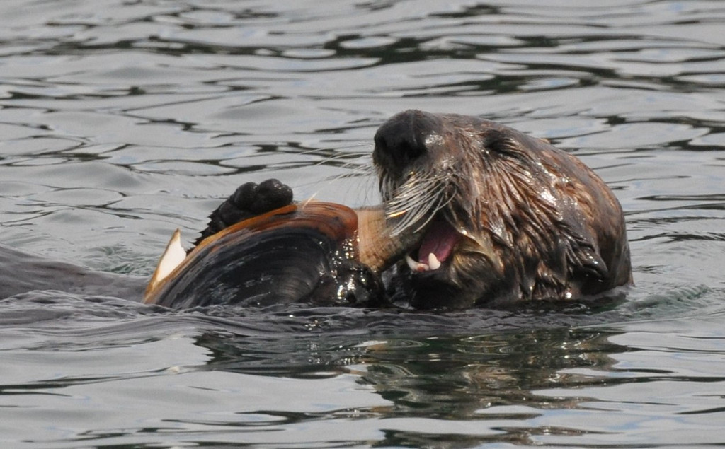 The otter is biting into the tough siphon of this large clam.