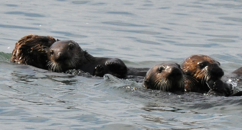 otters_four_resting after play_DSC_0263